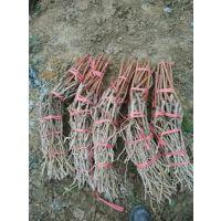 高山紫秋葡萄苗供应高产新品种葡萄