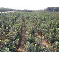 矮化红富士苹果苗基地 低价出售矮化红富士苹果苗