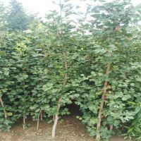 泰安基地直供绿化专用银杏树苗 大量出售规格齐全银杏树 欢迎订购