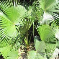 基地热销 棕榈  棕榈树苗 庭院绿化树苗批发规格齐全 量大优惠