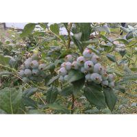 蓝莓苗_百色蓝莓(在线咨询)_哪里有蓝莓苗卖