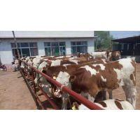吉林西门塔尔黄牛犊价格吉林黄牛养殖基地吉林养殖基地黄牛网