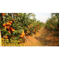 成都柑橘树苗厂家,成都柑橘树苗种苗