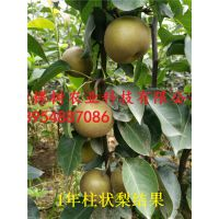 山东梨苗品种 秋月梨苗 柱状梨梨苗 早酥红梨批发价格