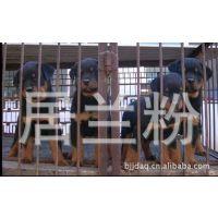 宠物狗)出售纯种罗威纳成犬幼犬徳系罗威纳小崽幼崽狗狗宝宝