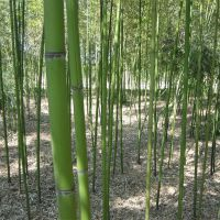 批发供应优质淡竹 规格齐全 庭院植物 竹类基地 量大优惠 规格齐全 欢迎来电
