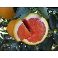红肉脐橙 、卡拉卡拉/柑桔苗/柑橘苗/果苗