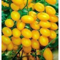 荷兰进口金妃-黄色小番茄种子