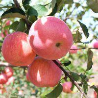 批发苹果苗价格 批发苹果苗基地 苹果苗品种泰安同心农业科技有限公司