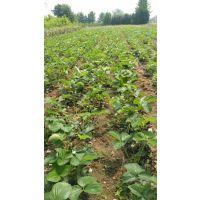 山东泰安红颜草莓苗多少钱?红颜草莓苗批发价格,红颜草莓苗基地