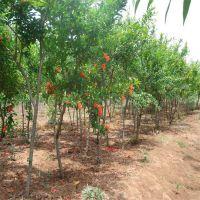 山东泰安石榴小苗 果树石榴苗价格 批发品种石榴苗价格