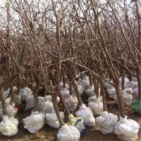 哪里有冬枣树苗出售 冬枣树苗的价格是多少 山东枣树苗种植基地