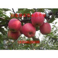 烟富8号苹果苗 苹果苗规格 苹果苗厂家 烟富8号苹果小苗