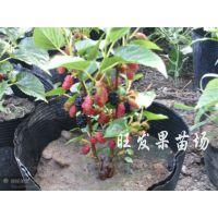 可盆栽果桑树苗 台湾四季果桑苗 庭院种植