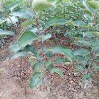 批发水果种苗嫁接苹果苗 热销的红星苹果苗 山东苹果苗种植基地