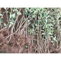 壹棵树 盆栽苹果树 红肉苹果苗基地在哪 品质保障欢迎选购