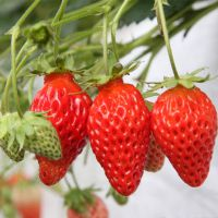 草莓苗什么时候移栽 哪里有卖草莓苗的 哪里可以买到草莓苗