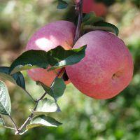 哪里卖得苹果树苗便宜 河南苹果树苗供应 河南苹果树苗价格