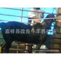 福建有卖纯种努比亚黑山羊的吗 山东怀孕黑山羊 种羊多少钱