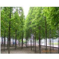 批发供应:杉树种子,池杉种子,杉木种子,马褂木种子等