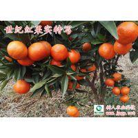 带动柑橘产业致富 科学发展世纪红柑橘种植