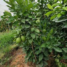 三红柚子苗多少钱一株,河池市有卖这种三红蜜柚苗吗
