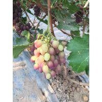 山东泰安葡萄苗品种 巨峰 巨星 兴华一号葡萄苗 红提 金手指葡萄栽子价格