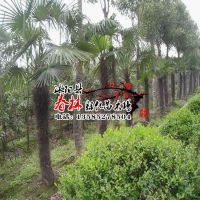 供应棕榈 棕榈苗 别名并榈 棕树 唐棕 唐棕榈 山棕 棕耙树