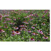供应野花组合宿根天人菊、紫松果菊、金鸡菊种子