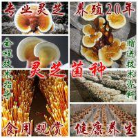 地低价批发灵芝菌种 自产自销 灵芝盆景菌棒 菌包 免费技术指导