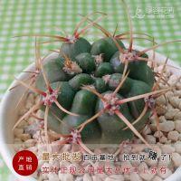 产地批发迷你多肉植物实生小仙人球莺鸣玉防辐射吸甲醛盆栽促销