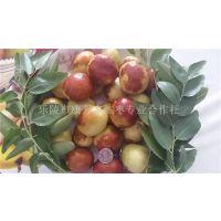 山东鲜枣批发市场中吃的鲜食枣