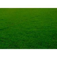 石家庄栾城草坪批发价格,自产自销便宜出售绿化草坪