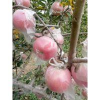 陕西膜袋红富士苹果基地膜袋红富士苹果产地