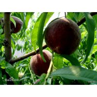 晚熟桃树品种映霜红桃苗 一公分晚熟桃树品种价格 桃树苗批发