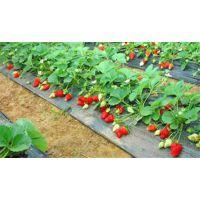 草莓苗、润丰苗木(图)、全明星草莓苗