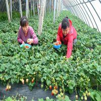 草莓苗品种 草莓苗价格量大优惠