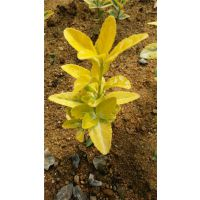 金冠黄杨|金镶玉黄杨|金冠黄杨种植基地