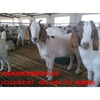 四川自贡波尔山羊种羊养殖场-纯种波尔山羊价格