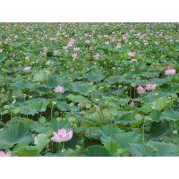 【基地批发】 江西纯种莲蓬种苗太空莲藕种亩产莲蓬7000个