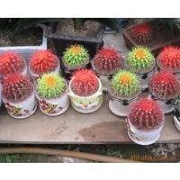 仙人球多肉植物 彩色仙人球 可防电脑辐射 净化空气