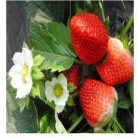三门峡章姬草莓苗|红丰园艺场(图)|优质章姬草莓苗