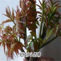 短枝多头香椿苗 多规格香椿树苗供应