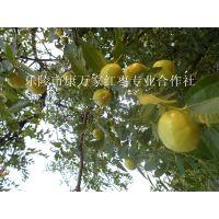 山东鲜脆枣产地 果园现摘新鲜鲜果