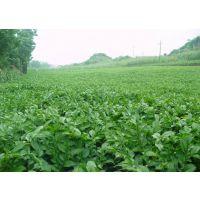 2016年特价热销 贵州魔芋种子供应商 二代种子30-300克 花魔芋种子 发芽率98%