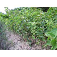 做柿饼用柿子树苗-牛心柿柿子树苗品种、