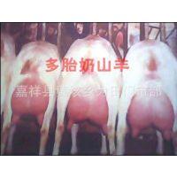奶羊养殖技术  奶羊的产奶量