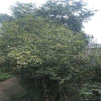 泰安成语苗圃常年供应 优质枸橘小苗枳壳苗 根系发达现挖现卖枸橘苗