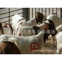 波尔山羊羊羔、波尔山羊怀孕大母羊价格、种羊市场价格