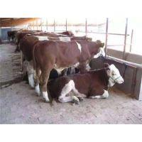 宁夏种牛养殖、万隆畜牧养殖、种牛哪里的好?